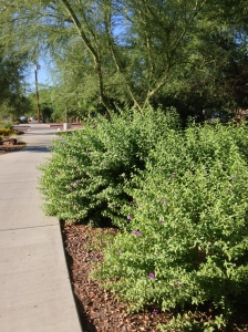 Properly trimmed desert shrubs grow and blossom.  Photos: Rebecca Senior
