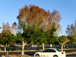 Ficus trees are very sensitive to the cold. Photo: Dr. Chris A. Martin, Arizona State University