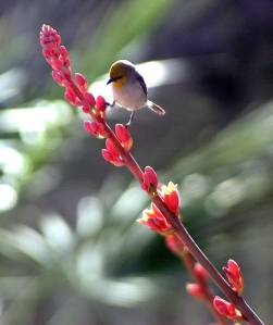The Verdin, a tiny, active songbird, perches on a Hesperaloe flowering stalk.  Photo: Al Sinclair