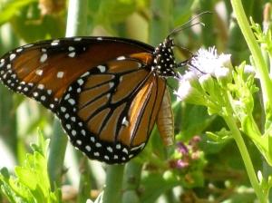 A Queen butterfly sips nectar from a Mistflower (Eupatorium greggii).  Photo: Donna DiFrancesco