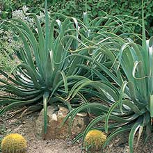 Octopus Agave