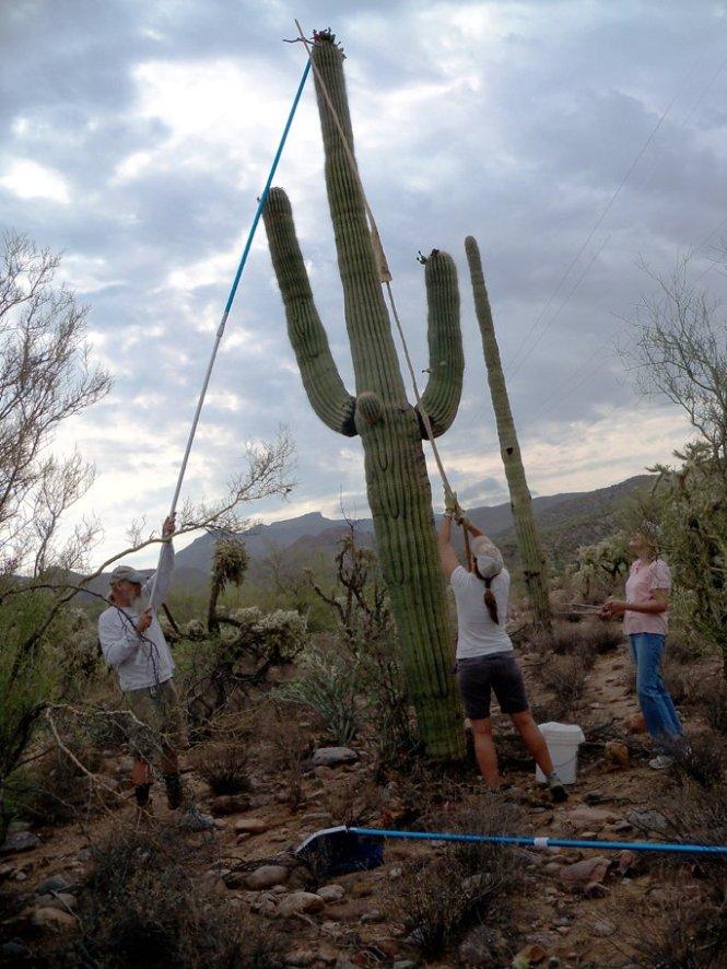 saguaro-harvesting