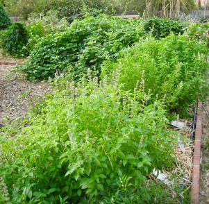 Summer limas & basil thrive with compost created the UA Maricopa County Extension garden.